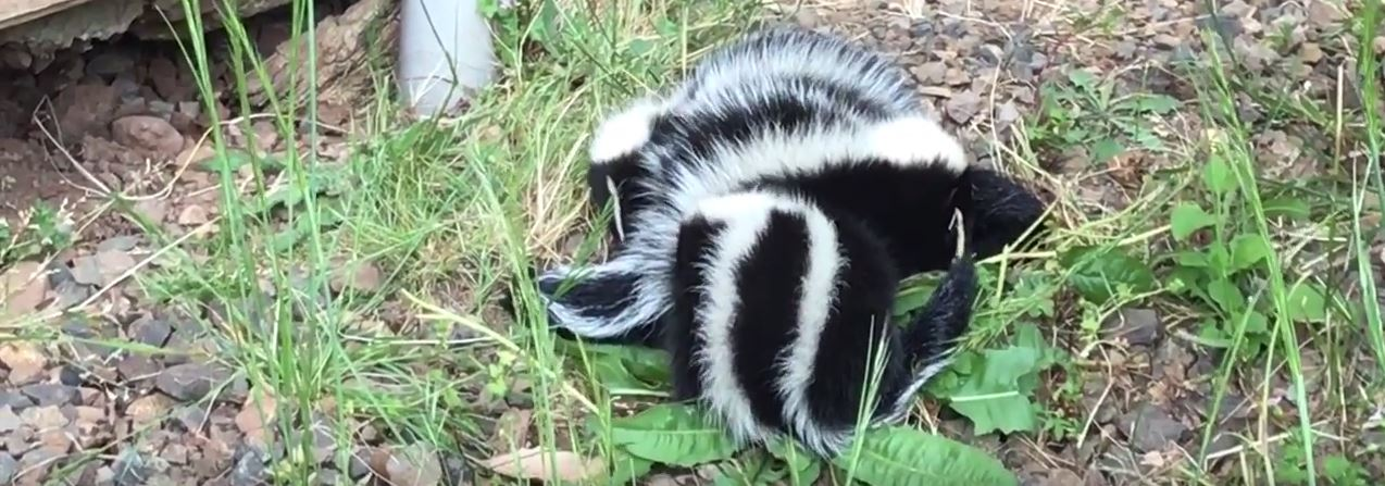 How to get rid of skunks without killing them