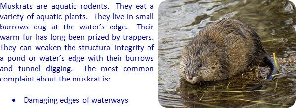 How To Get Rid Of Muskrats